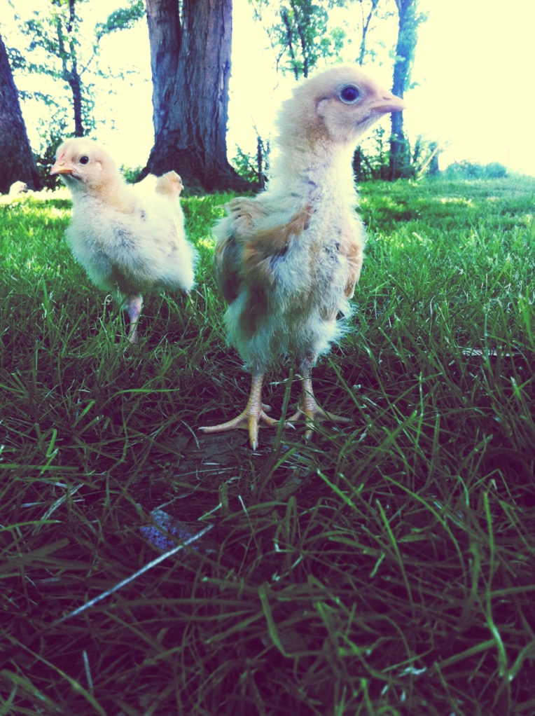 Backyard Chicks